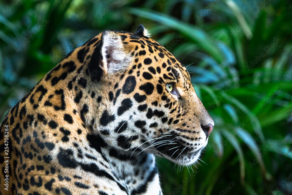 Fotografía An Adult Jaguar Panthera Onca Up Close Among Jungle