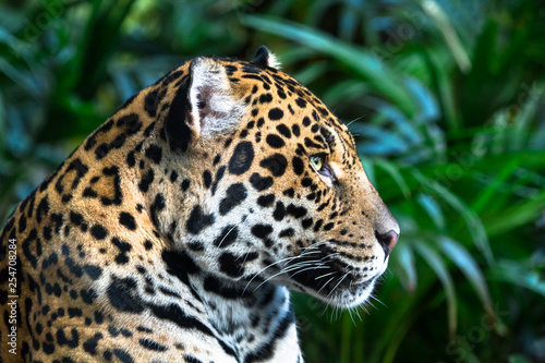 Obraz An adult jaguar (Panthera onca) up close among jungle vegetation. - fototapety do salonu