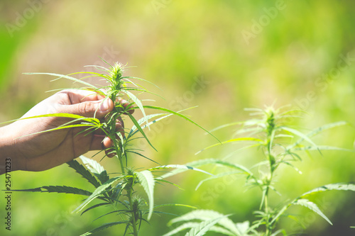 Fotomural  Marijuana leaves, Cannabis on beautiful background.