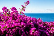 Purple Bougainvillea And Ocean
