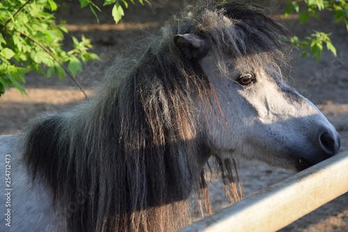 Fototapety, obrazy: Little horse in the zoo pen