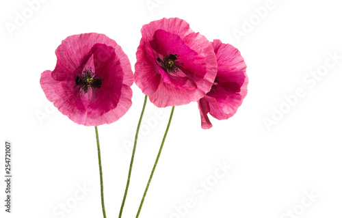 Obraz pink poppy isolated - fototapety do salonu