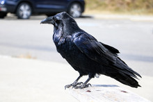 A Beautiful Raven Sits On A Be...
