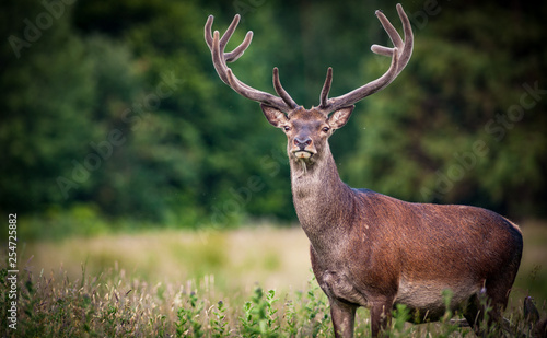 Large powerful Red deer stag in the tall grass of Killarney national park