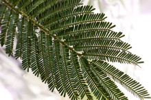 Green Divided Leaflet, Sprig Of Mimosa Tree. Australian Acacia Tree With Delicate Fernlike Leaves.