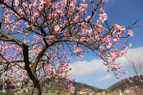 Photo  Mandelblüte in der Pfalz
