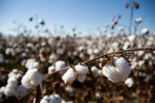 Cotton Fields Almost Ready To ...