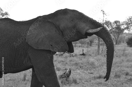 A majestic elephant at Mala Mala Reserve near Johannesburg South Africa