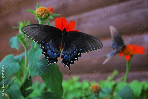 Black Swallowtail twins