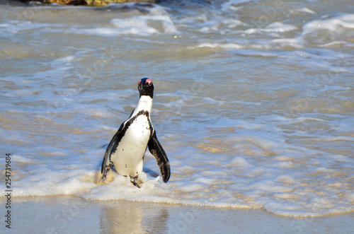 Tuinposter Pinguin A penguin struts out of the waves at Boulder Beach South Africa