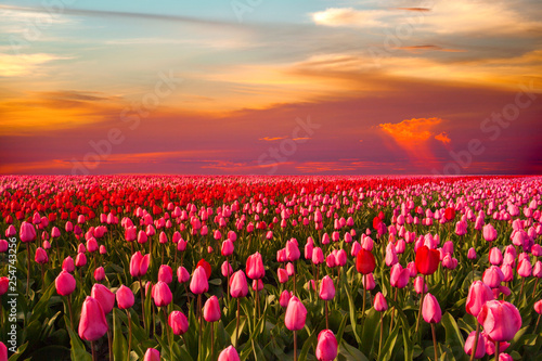 Colorful field of tulips, Netherlands. Keukenhof park, Holland.