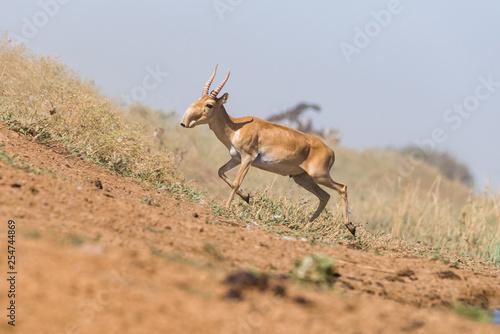 Photo Powerful saiga male