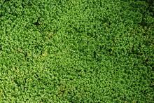 Fine Moss Fern