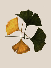 Gold And Green Gingko Biloba Leaves