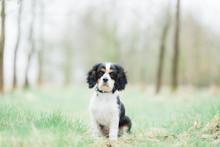 Spaniel Puppy With Floppy Black Ears