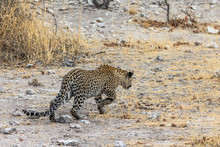 Leopard Walking In Steppe Of Etosha Park