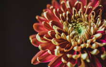 Close-up Of Chrysanthemum Against Black Background