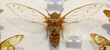 Cicada Insect Isolated On Whit...
