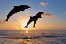Bottlenose Dolphins Jumping In...