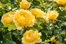 Close-up Of Yellow Roses In Bl...
