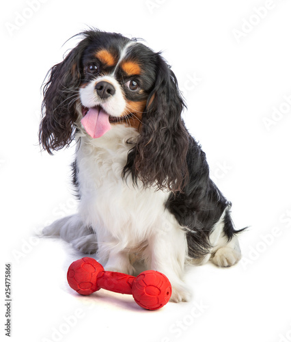 Cavalier king Charles spaniel sitting with a toy Canvas-taulu