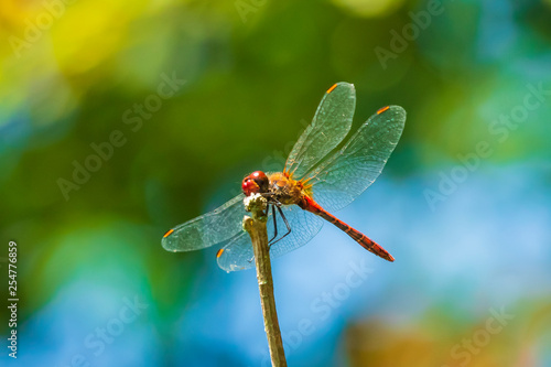 Valokuva Closeup of a red male Ruddy darter (Sympetrum sanguineum) resting in sunlight in