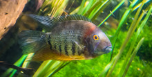 Banded Cichlid, Popular Tropical Aqaurium Pet From The Orinoco River Of South America