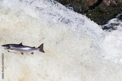 Fotografia  Wild Scottish atlantic salmon leaping on waterfall