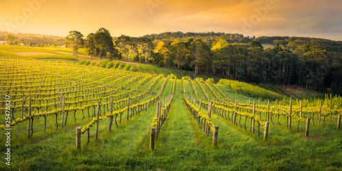 Fototapeta winnica   wiosenne-winorosle