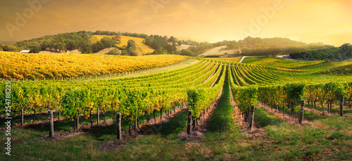 Photo sur Toile Vignoble Vineyard Light