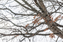Closeup Of Oak Tree Branch And Autumn Foliage Dry Leaves In Backyard Or Front Yard Forest During Winter With Cloudy Overcast White Sky Background In Virginia