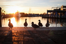 Silhouettes Of Mallard Ducks In Downtown Annapolis, Maryland Near The Boat Docks