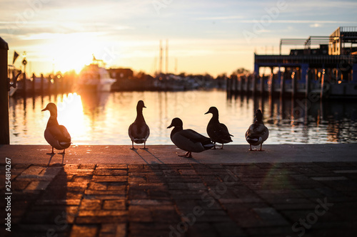 Obraz na płótnie Silhouettes of mallard ducks in downtown Annapolis, Maryland near the boat docks
