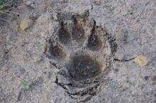 Mountain Lion Paw Print, Malibu, California