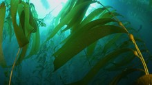 Moodful Kelb Forest Leaf With A California Sheephead Swimming By The Camera