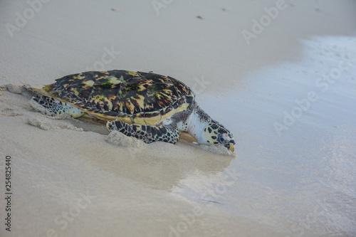 Foto op Canvas Schildpad Turtle (Eretmochelys imbricata, Cheloniidae family)