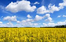 Idyllic Landscape, Yellow Colz...