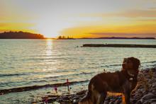 Dog On Pebble Beach During Sunset, Lake Saimaa, Finland