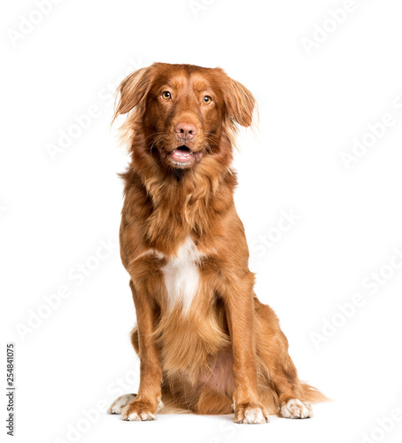 Poster Chien Toller dog sitting in front of white background