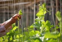 Gardener Help Squash Vine Plan...