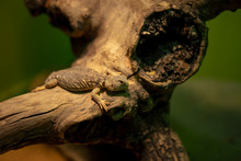 Eastern Collared Lizard Crotaphytus Collaris