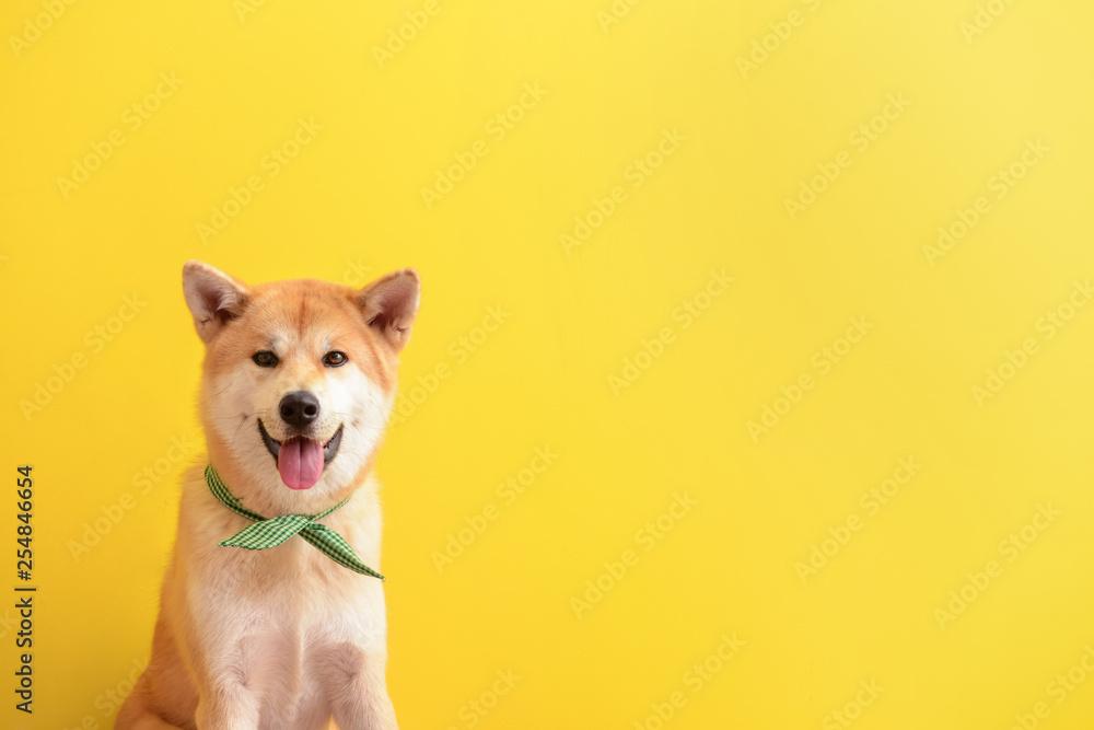Fototapety, obrazy: Cute Akita Inu dog on color background