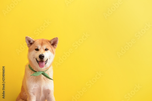 Cute Akita Inu dog on color background Canvas Print