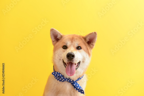 Cute Akita Inu dog on color background Wallpaper Mural
