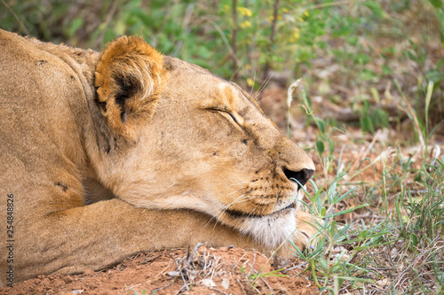 Fotografie, Obraz  Lioness is sleeping in the grass of the savanna