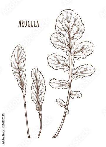 Fototapety, obrazy: Arugula leafs. Isolated. Retro style illustration ink vintage drawing, engraving