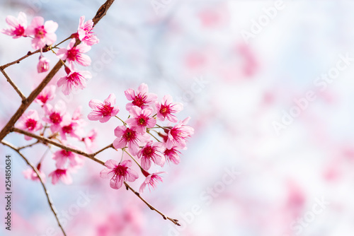 Deurstickers Kersenbloesem Pink cherry blossom, beautiful flowers in spring season