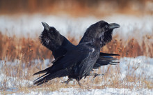Pair Of Ravens In Courtship. C...