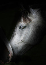 Image Of Two Horses Touching N...