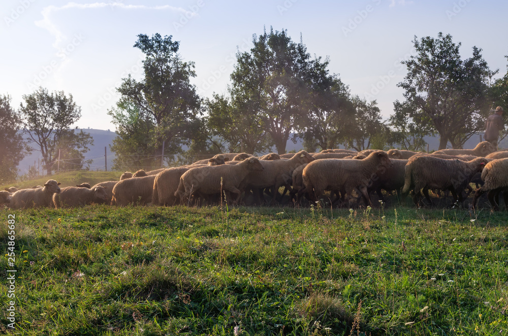 Photo & Art Print A shepherd leads a flock of sheep home at